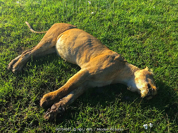 African lioness (Panthera leo) Bibi the oldest lion from the Marsh Pride, found dead from poisoning after eating carcass poisoned by local cattle herders, Masai Mara Game Reserve, Kenya. 7th December. 2015. Image taken with mobile phone.