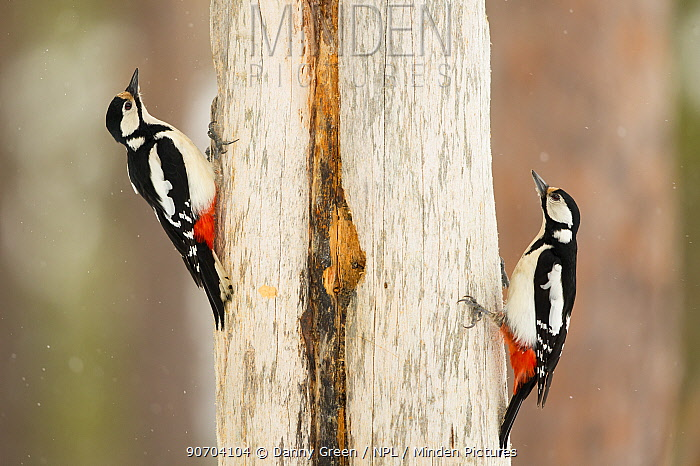 Great spotted woodpecker (Dendrocopos major), females, Oulanka National Park, Finland, April