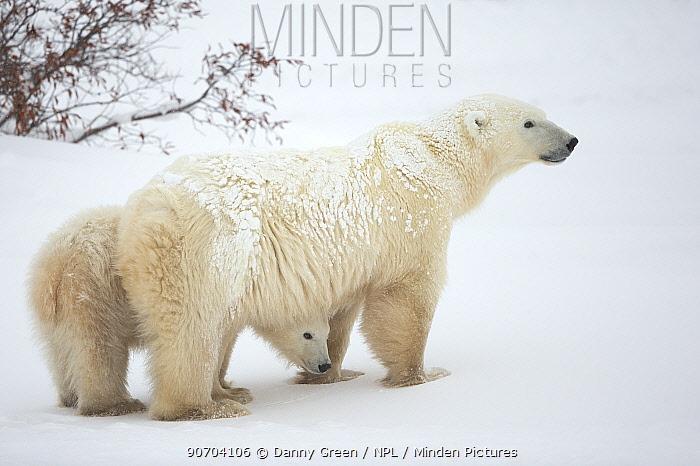 Polar bear (Ursus maritimus) female and cub, Churchill, Canada, November