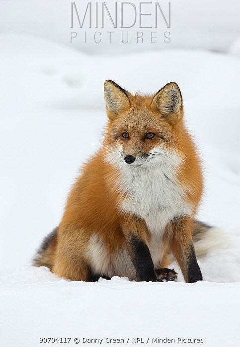 Red fox (Vulpes vulpes) in the snow, Churchill, Cananda, November