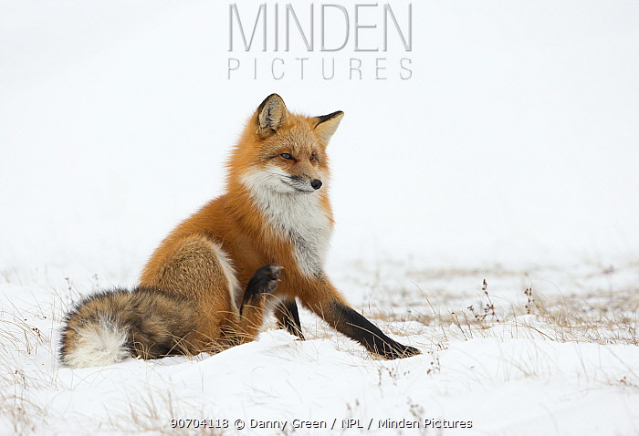 Red fox (Vulpes vulpes) scratching in the snow, Churchill, Cananda, November