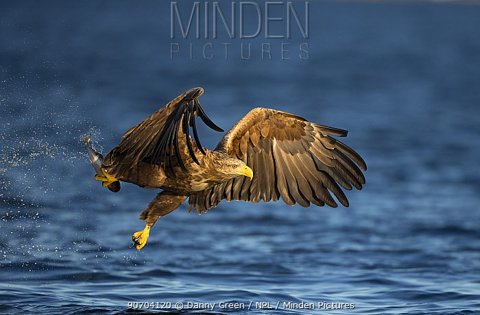 White-tailed eagle (Haliaeetus albicilla) catching a fish, Norway, August