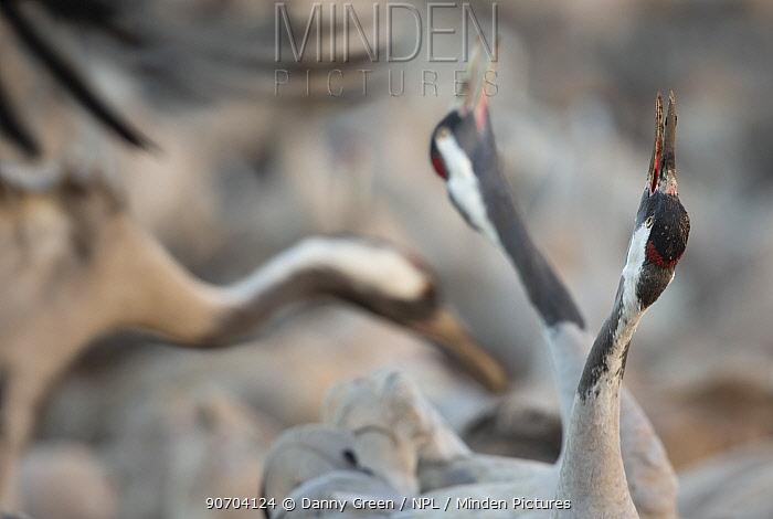 Common cranes (Grus grus) displaying, Hula Valley, Northern Israel, January