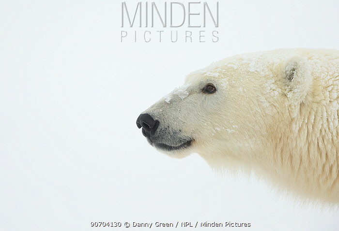 Polar bear (Ursus maritimus) female, Churchill, Canada, November