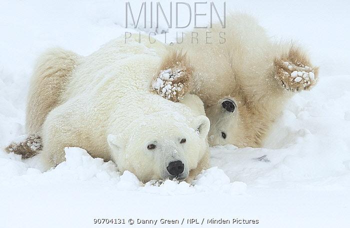 Polar bear (Ursus maritimus) female and cub resting, Churchill, Canada, November