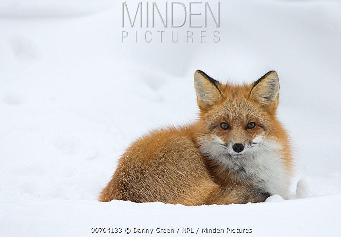 Red fox (Vulpes vulpes) resting in the snow, Churchill, Cananda, November