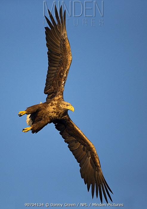 White-tailed eagle (Haliaeetus albicilla) in flight, Norway, August