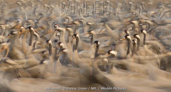 Flock of Common cranes (Grus grus), Hula Valley, Northern Israel, January