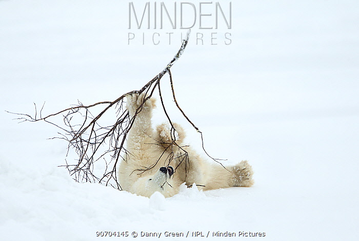 Polar bear (Ursus maritimus) cub playing with branch,Churchill, Canada, November