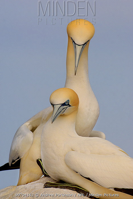 Gannet (Morus bassanus) breeding pair sit together on rock. Saltee Islands, Republic of Ireland, May.