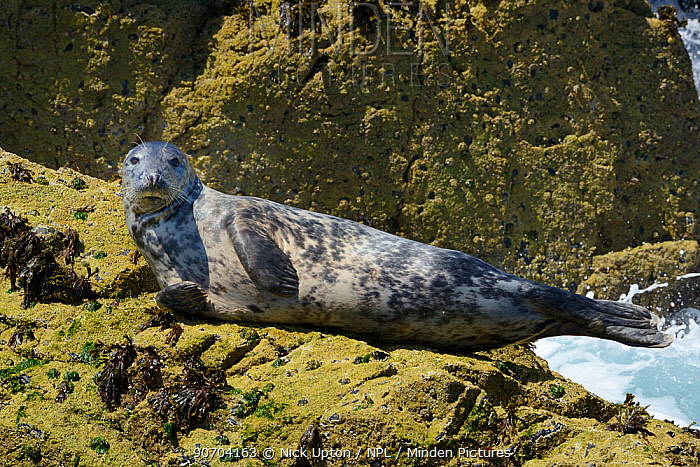 Adult Grey seal (Halichoerus grypus) resting on barnacle encrusted offshore rocks at low tide, the Carracks, St.Ives, Cornwall, UK, June.