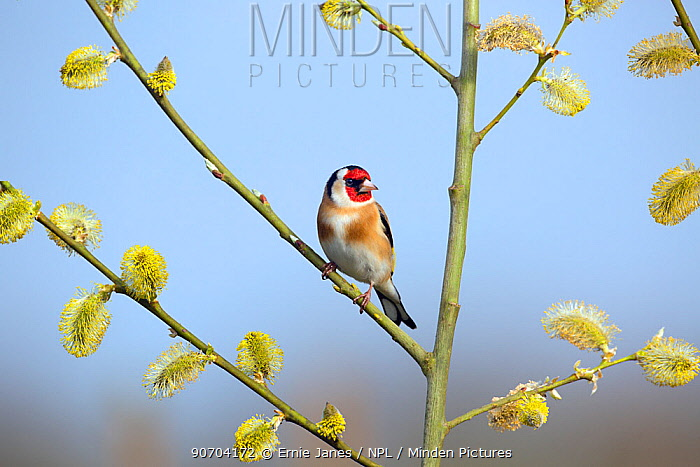 Goldfinch (Carduelis carduelis) on Pussy willow branch (Salix caprea) in spring, Norfolk, England, UK, April.