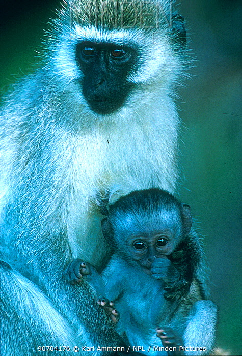 AO Vervet monkey with young (Chlorocebus / Cercopithecus aethiops) Samburu GR, Kenya AIMS ONLY