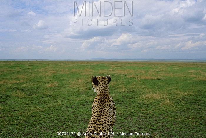 Female Cheetah scans horizon for prey {Acinonyx jubatus} Masai Mara, Kenya