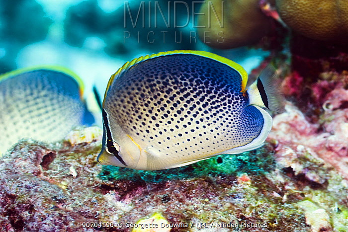Peppered butterflyfish (Chaetodon guttatissimus). Andaman Sea, Thailand.