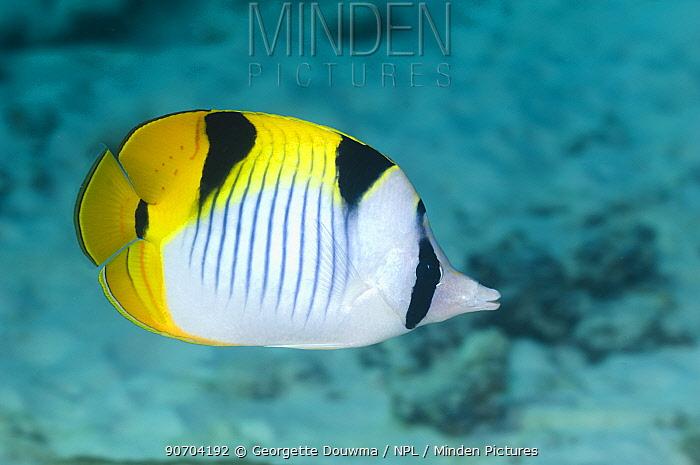 Saddleback butterflyfish (Chaetodon falcula) Andaman Sea, Thailand
