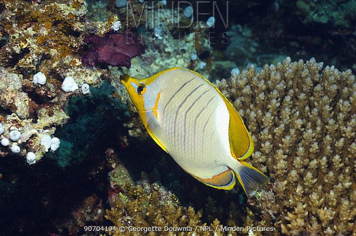 Yellowheaded butterflyfish (Chaetodon xanthocephalus) Maldives, Indian Ocean
