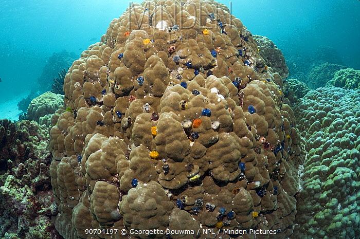 Christmas tree worms (Spirobranchus giganteus) on Porites coral boulder, Andaman Sea, Thailand