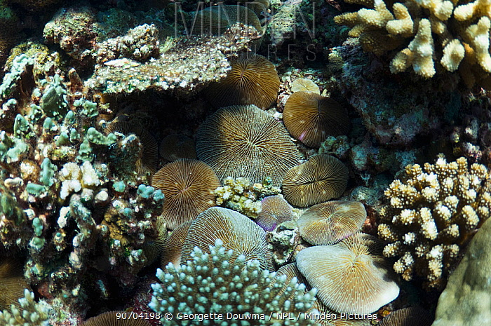Mushroom corals (Fungia fungites) on rubble bottom of reef under other corals, Maldives, Indian Ocean