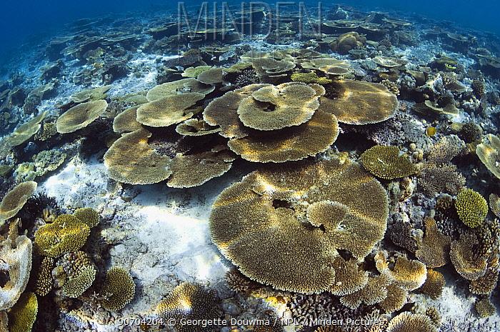 Table top corals (Acropora hyacinthus) sun dapple on shallow reef top, Maldives, Indian Ocean
