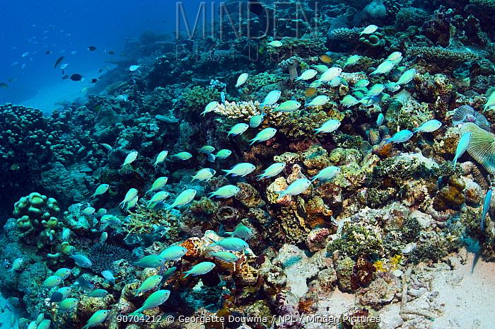 Blue green chromis (Chromis viridis) shoal over coral reef, Maldives, Indian Ocean