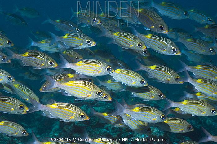Yellowspot emperors (Gnathodentex aurolineatus) schooling on coral reef, Maldives, Indian Ocean