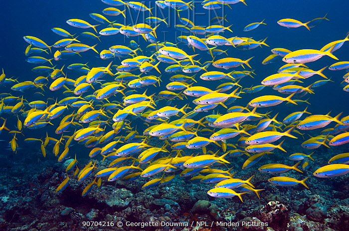 Yellowtop fusiliers (Caesio xanthonota) school over coral reef, Maldives, Indian Ocean