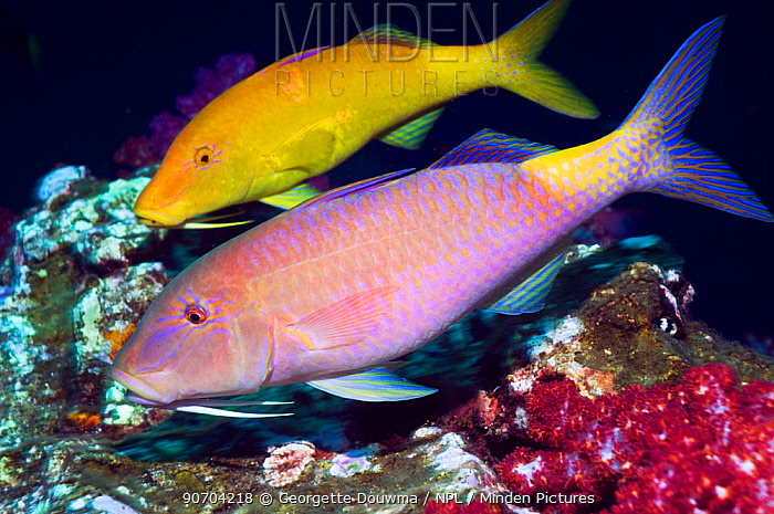 Yellowsaddle goatfish (Parupeneus cyclostomus) pair hunting over corals, Andaman Sea, Thailand