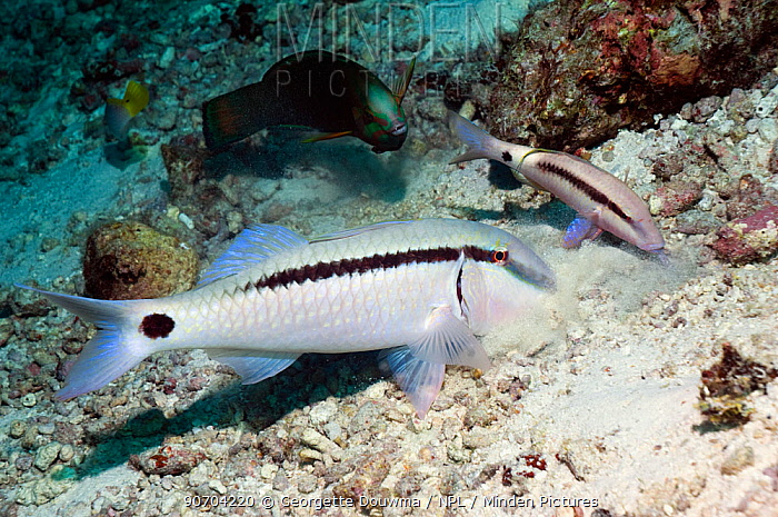 Dash-and-dot goatfish (Parupeneus barberinus) feeding in sand, Andaman Sea, Thailand.