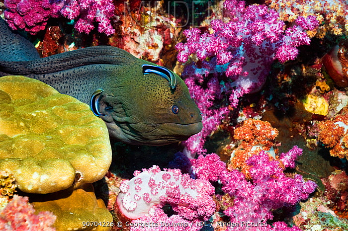 Giant moray eel (Gymnothorax javanicus) emerging from soft corals, being cleaned by Bluestreak cleaner wrasse, Andaman Sea, Thailand
