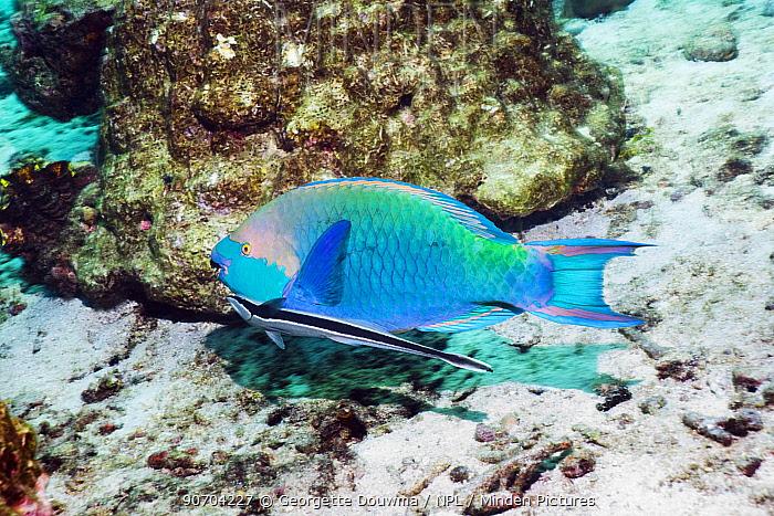 Greenthroat or Singapore parrotfish (Scarus prasiognathus), terminal male with a Remora or Sharksucker (Echeneis naucrates), Andaman Sea, Thailand.