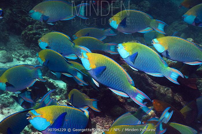 Greenthroat or Singapore parrotfish (Scarus prasiognathus), large school of terminal males shoaling, Andaman Sea, Thailand.