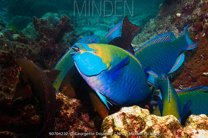 Greenthroat or Singapore parrotfish (Scarus prasiognathus), terminal males and females amongst coral, Andaman Sea, Thailand.