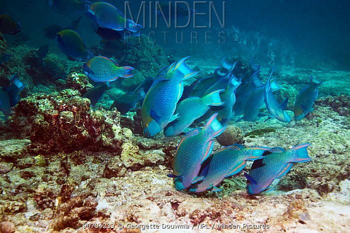 Greenthroat or Singapore parrotfish (Scarus prasiognathus), large school of terminal males grazing on algae covered coral rubble on sandy bottom, Andaman Sea, Thailand.