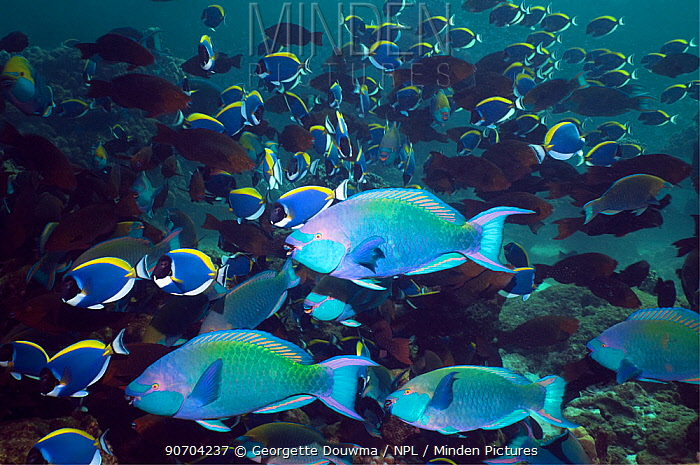 Greenthroat or Singapore parrotfish (Scarus prasiognathus), terminal males with females and Powderblue surgeonfish (Acanthurus leucosternon) in background, Andaman Sea, Thailand.