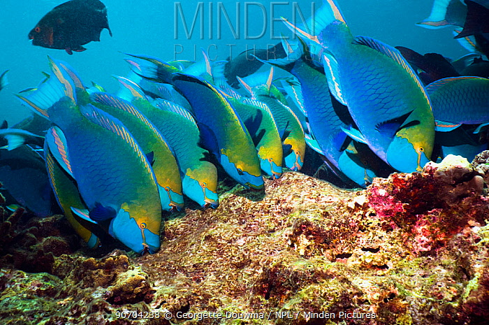 Greenthroat or Singapore parrotfish (Scarus prasiognathus), large school of terminal males grazing on algae covered coral boulders, Andaman Sea, Thailand.