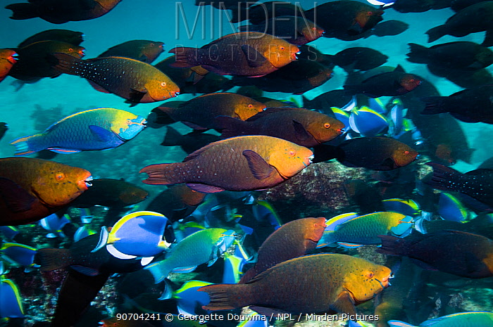 Greenthroat or Singapore parrotfish (Scarus prasiognathus) large school of females with some terminal males swimming over coral reef, Andaman Sea, Thailand.