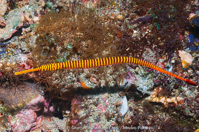 Yellowbanded pipefish (Doryhamphus pessuliferus) with eggs attached to his stomach, Rinca, Komodo National Park, Indonesia