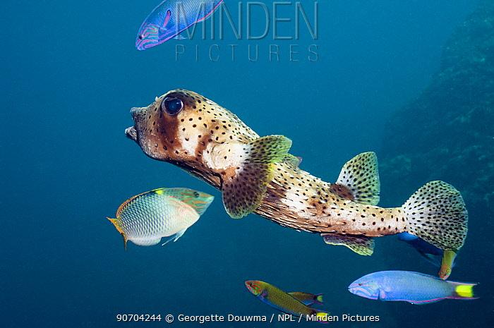 Pacific / Spottedfin burrfish (Chilomycterus reticulatus) swimming over coral reef, Andaman Sea, Thailand.