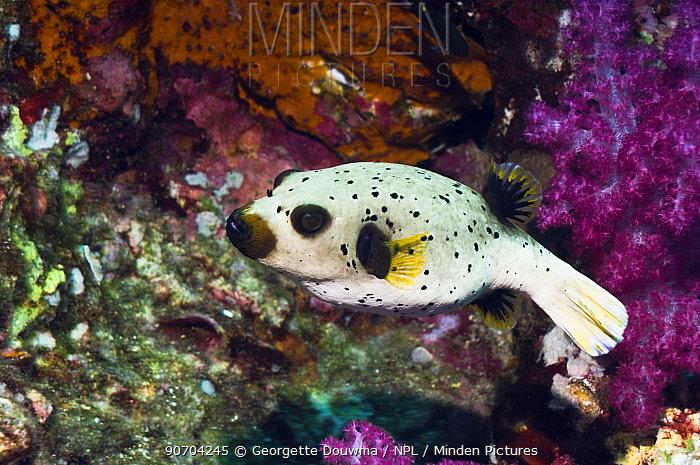 Black spotted puffer (Arothron nigropunctatus)Andaman Sea, Thailand.