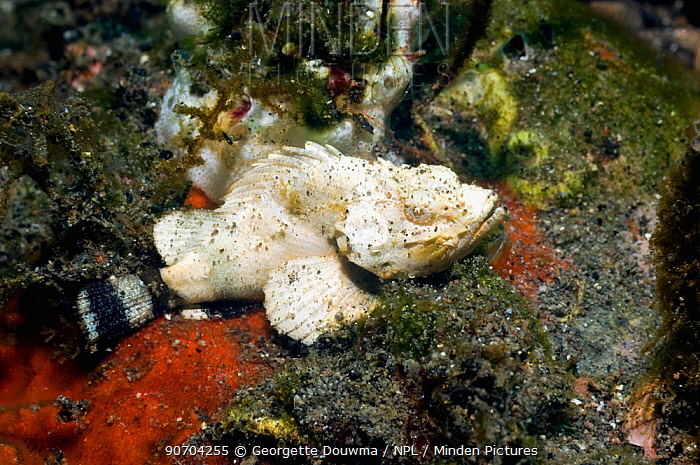 Humpback or Devil scorpionfish (Scorpaenopsis diabolus) Rinca, Komodo National Park, Indonesia