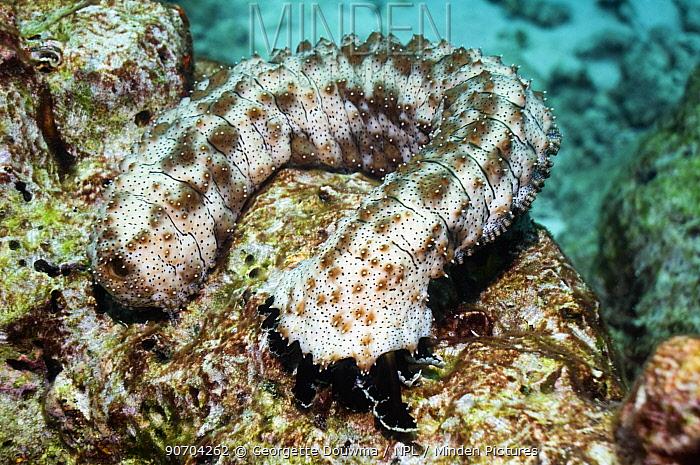 Graeff's sea cucumber (Bohadschia graeffei) Andaman Sea, Thailand.