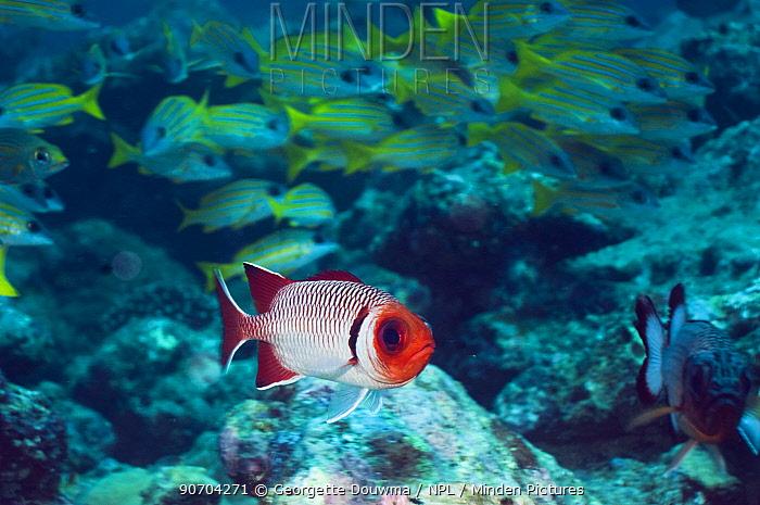 Splendid soldierfish (Myripristis melanostica) with Blueline snappers in background, Maldives, Indian Ocean