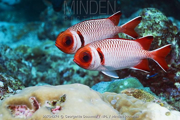 Splendid soldierfish (Myripristis melanostica), Maldives, Indian Ocean
