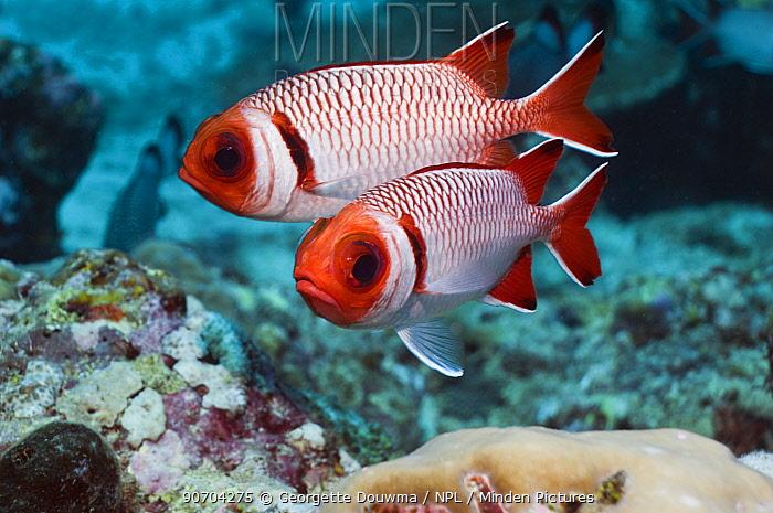 Splendid soldierfish (Myripristis melanostica) Maldives, Indian Ocean