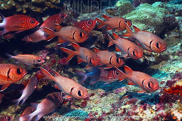 Red / Crimson soldierfish (Myripristis murdjan) Maldives, Indian Ocean