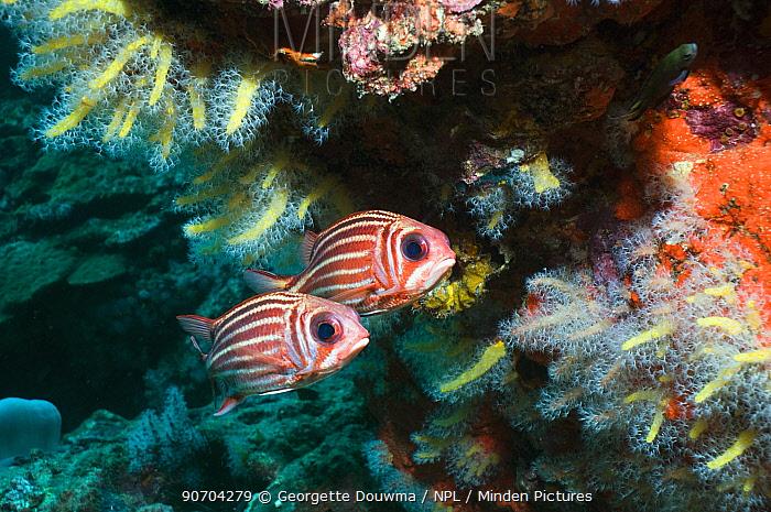 Threespot squirrelfish (Sargocentron cornutum) pair under overhang with soft corals, Andaman Sea, Thailand