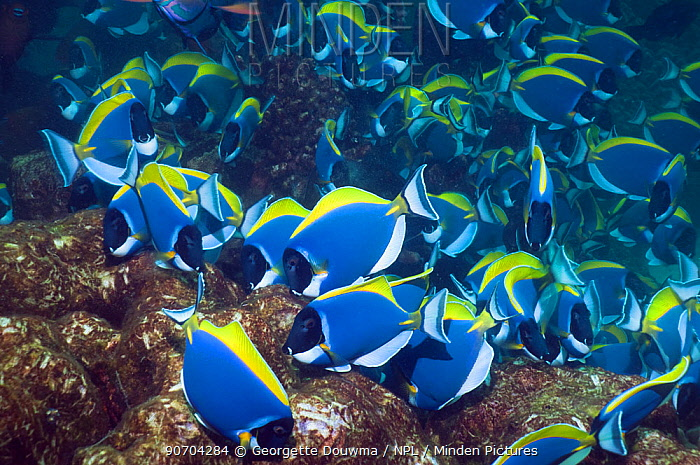 Powder blue surgeonfish (Acanthurus leucosternon), large school feeding on algae on coral boulders, Andaman Sea, Thailand
