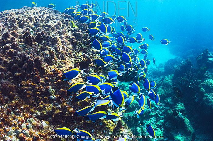 Powder blue surgeonfish (Acanthurus leucosternon), large school feeding on algae on coral boulders,  Andaman Sea, Thailand.