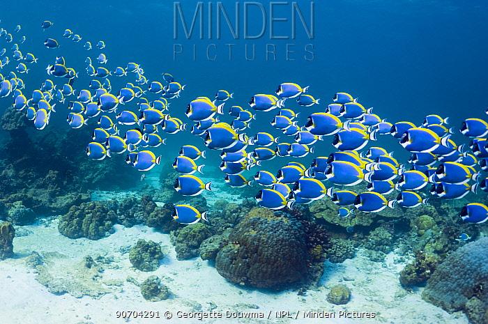 Powder blue surgeonfish (Acanthurus leucosternon), large school swimming, Andaman Sea, Thailand.